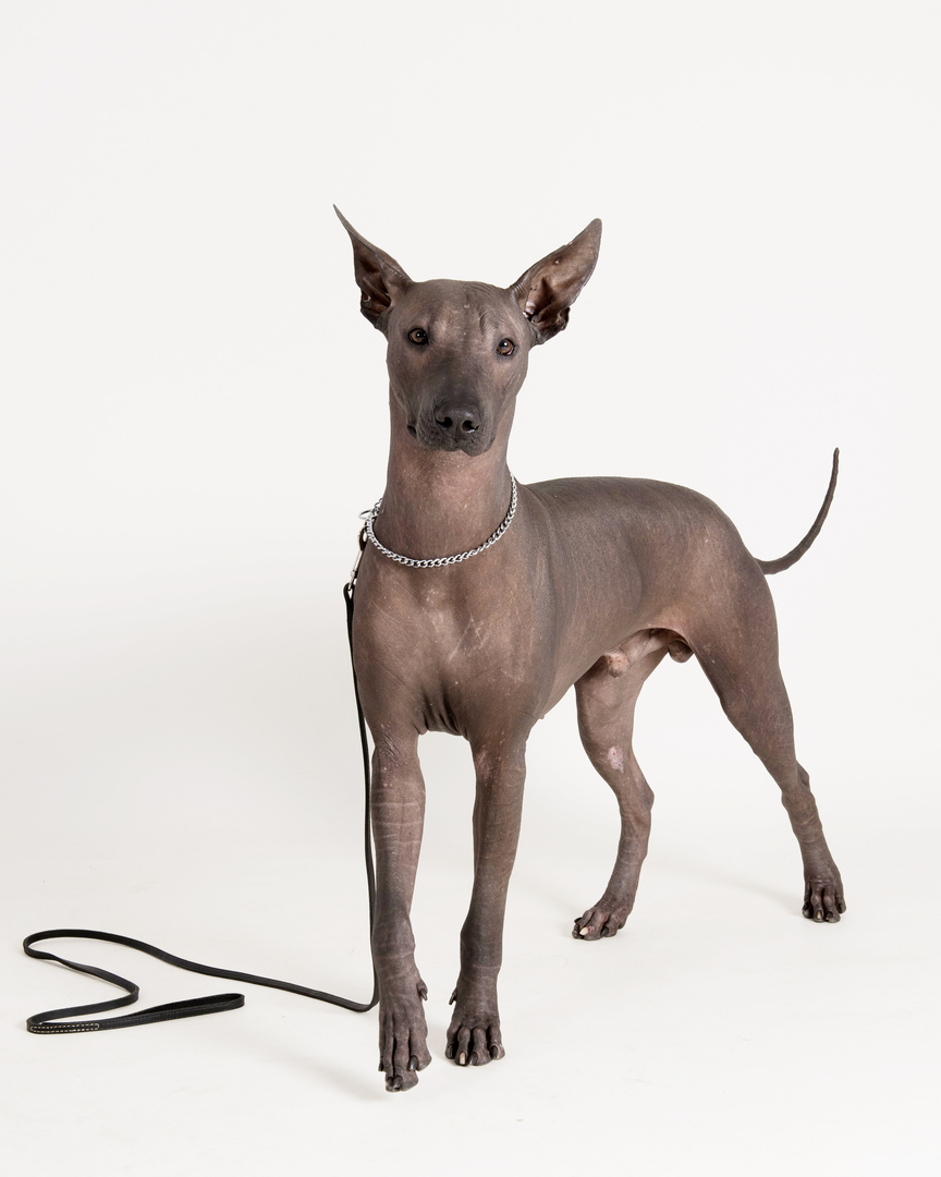Tamoanchan Kennels Breeders Of Xoloitzcuintle General